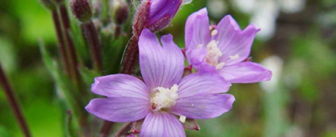 Epilobium  parviflorum  – vrbolika,  mlečika sa malim cvetovima